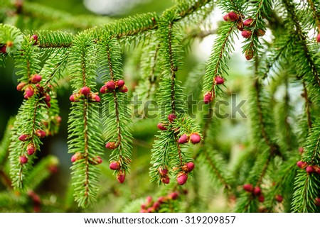 Red fir cone during springtime on a evergreen tree, close-up composition. Natural background. Shallow DOF, selective focus, horizontal composition. - stock photo