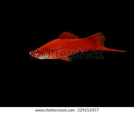 Red fish on black background. - stock photo