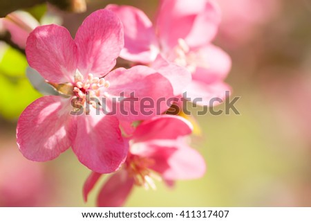 red flower Apple tree in blossom closeup background - stock photo