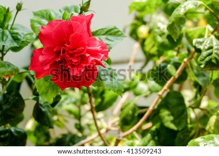 red flower in the garden. - stock photo