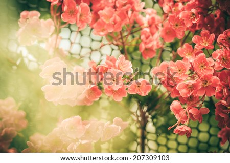 Red flower in the garden or nature park Thailand vintage - stock photo
