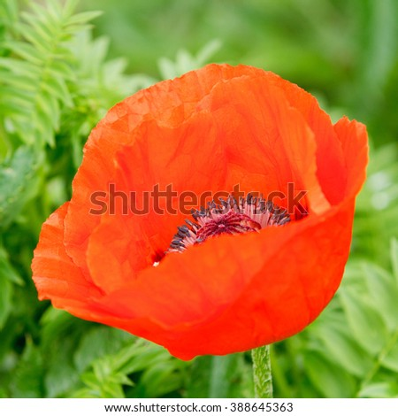 Red Flower isolated, square cropped. - stock photo