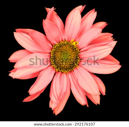 Red flower of a decorative sunflower Helinthus isolated on black - stock photo