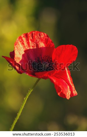 Red flower of poppy in beams of the setting sun/ Red poppy - stock photo