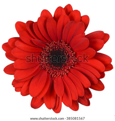 Red flower on isolated background - stock photo
