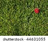 Red flower on the green hedge background - stock photo