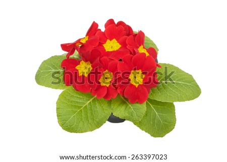 Red flower primrose violets isolated on white background - stock photo