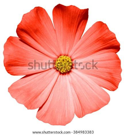 Red flower Primula macro isolated on white - stock photo