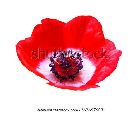 Red flower spring blossom seasonal illustration. Anemone isolated on white - stock photo