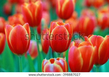Red flower Tulips in blurry tulips background, Beautiful view of red tulips under sunlight landscape at the middle of spring. red tulip bud in field, petals amazing tulips, orange flower background - stock photo