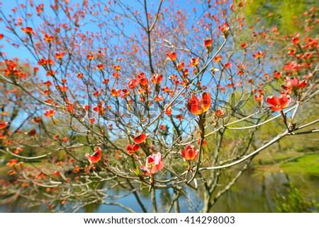Red Flowering Dogwood - stock photo