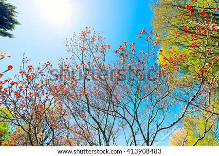 Red flowering dogwood, blue sky and sun - stock photo