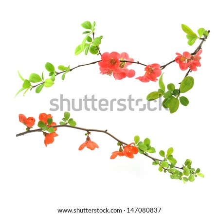 red flowering quince isolated on white - stock photo