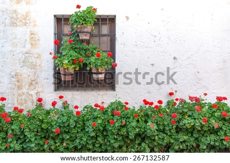 Red flowers adorning a white wall in the historic Santa Catalina Monastery in Arequipa, Peru - stock photo