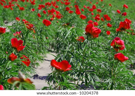 Red flowers in a field. - stock photo