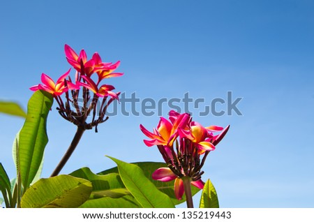 Red flowers Thai on sky - stock photo