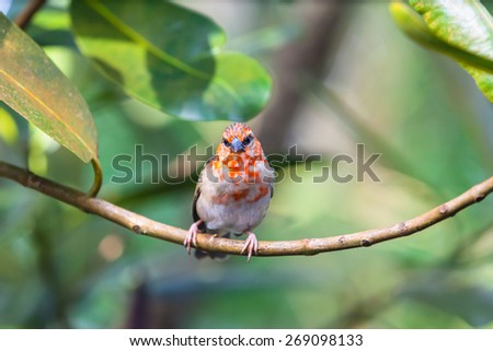 Red fody bird from Madagascar standing on the branch - stock photo