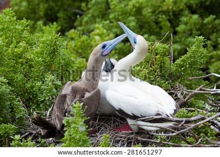 Red-Footed boobies (Sula sula) with chick, Galapagos Islands, Ecuador, Pacific, South America - stock photo