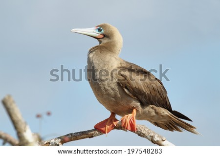 Red-footed Booby (Sula sula websteri), Eastern Pacific subspecies, white phase on Genovesa Island, Galapagos. - stock photo