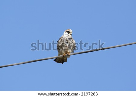 red-footed falcon  on a wire - stock photo