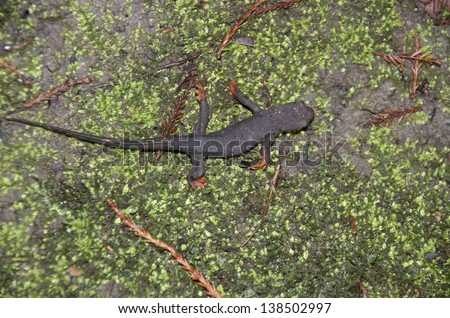 Red footed salamander in redwood forest California - stock photo