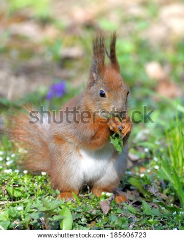 Red forest squirrel playing outdoors. - stock photo