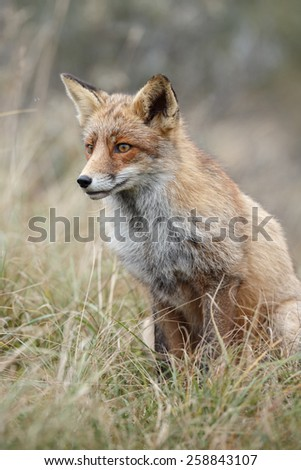 Red fox - stock photo
