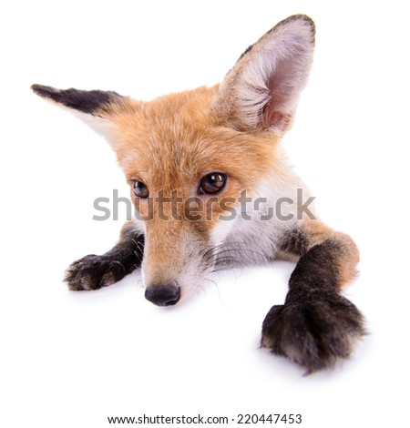 red fox. animal isolated on white background - stock photo