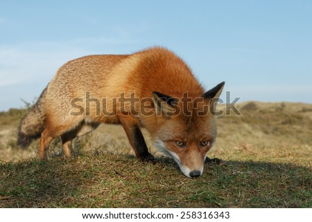 Red fox close by - stock photo