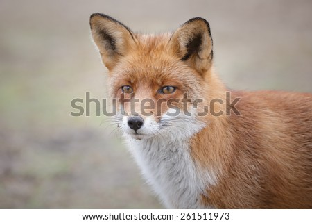 Red fox close-up - stock photo