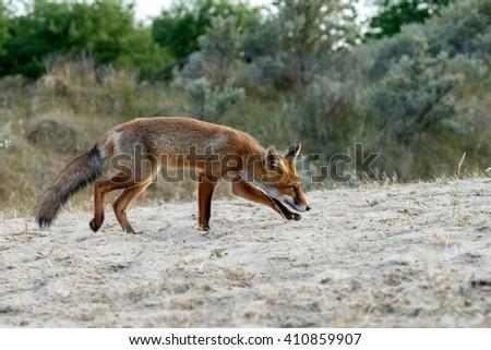 Red fox cub in sunlight - stock photo