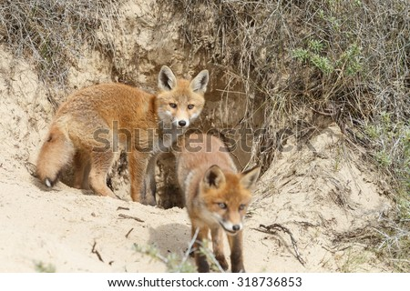Red fox cub near there hole - stock photo