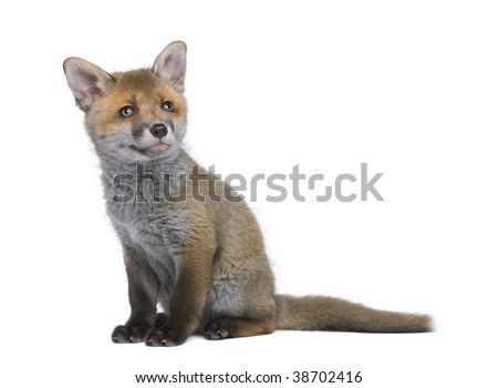 Red fox cub, Vulpes vulpes, 6 weeks old, sitting in front of white background, studio shot - stock photo