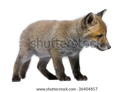 Red Fox Cub, Vulpes vulpes, 6 weeks old, standing in front of white background, studio shot - stock photo