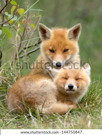Red fox cubs cuddling - stock photo