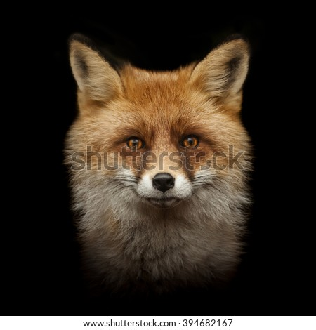 red fox face isolated on black background - stock photo