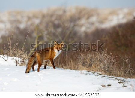 Red fox in a snowy landscape. - stock photo