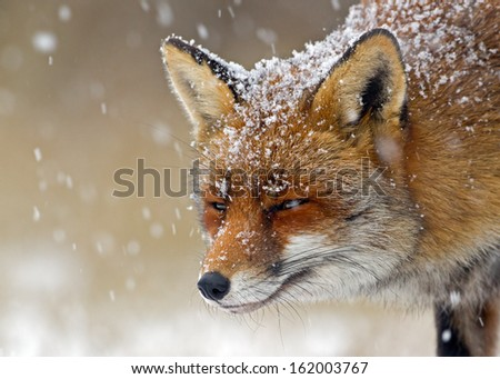 Red Fox in a winter setting - stock photo