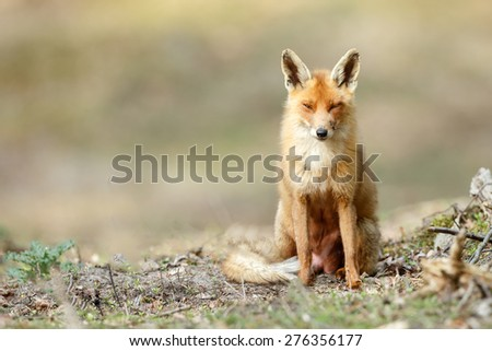 Red fox in nature - stock photo