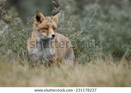 Red Fox in open nature - stock photo