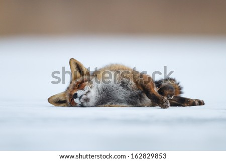 red fox in the snow - stock photo