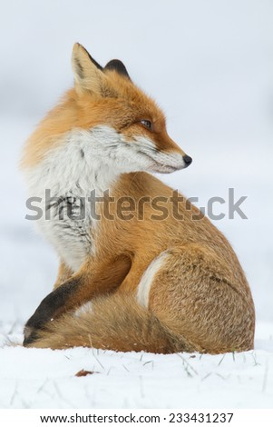 Red fox in the snow - winter evening - stock photo