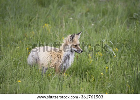 Red Fox in Yellowstone National Park Meadow - stock photo