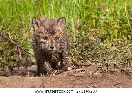 Red Fox Kit (Vulpes vulpes) Creeps Forward out of Den - captive animal - stock photo