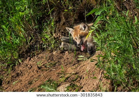 Red Fox Kit (Vulpes vulpes) Pokes Head out of Den - captive animal - stock photo