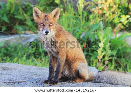 red fox mammal predator European woods and countryside sometimes also lives in the city very extensive habitat Lofoten Islands Norway - stock photo