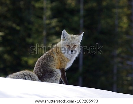 Red Fox, rare Cascade Mountain subspecies, in snow and evergreen trees at Mount Rainier National Park, Washington; Pacific Northwest wildlife / animal / nature / outdoors / recreation - stock photo