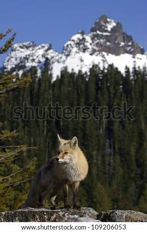 Red Fox, rare Cascade subspecies, in alpine habitat at Mount Rainier National Park - stock photo