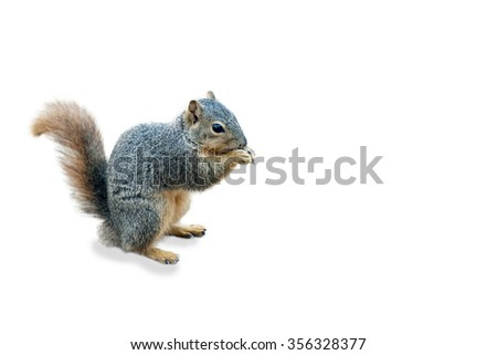 Red Fox Squirrel - stock photo