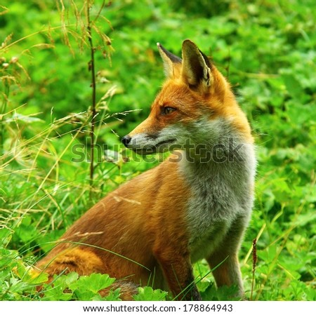 Red Fox standing in grass - stock photo